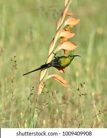 Malachite Sunbird, Nectarinia famosa