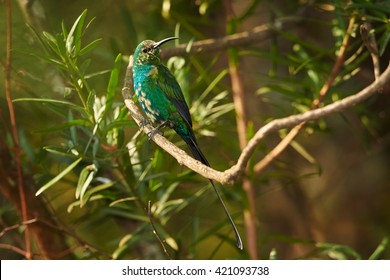 Malachite sunbird Nectarinia famosa, male changing feathers perched on twig, lit by afternoon sun. Drakensberg, KwaZulu Natal, South Africa.