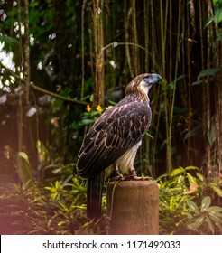 Malagos, Baguio District, Davao City / Philippines: The Philippine Eagle named Sinag