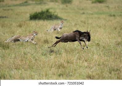 Malaika Cheetah and cubs chasing a wildebeest, Masai Mara