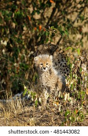 Malaika cheetah and her cub