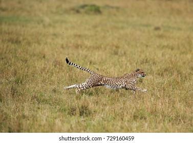 Malaika cheetah running after a wildebeest, Masai Mara