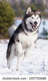 malamute dog running in winter