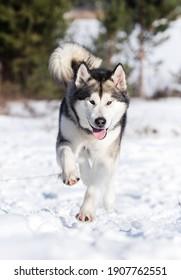 malamute dog running in winter to the camera
