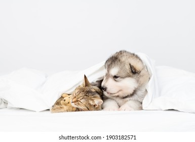Malamute puppy lies in an embrace with a cat under a white blanket at home on the bed
