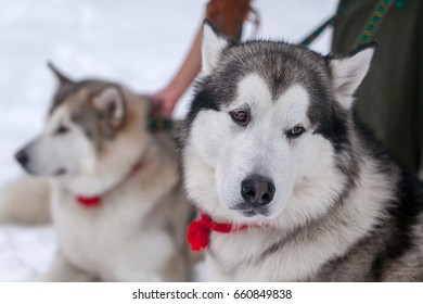 Malamutes in the winter