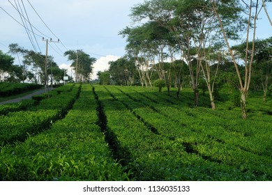 Malang, East Java, Indonesia - March, 2018: The green scenery at Wonosari Tea Plantation in Lawang, Malang Regency, East Java, Indonesia.