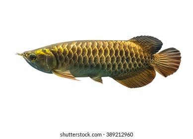Malasian Golden Arowana fish isolated on White Background