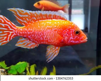 Malawi cichlid Aulonocara firefish Coral Red