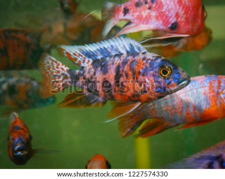 Malawi Cichlids Freshwater Aquarium Fish Tank Stock Photo Edit Now