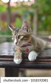 the malay kitten