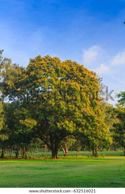 """""""Malay paduak"""" is a large tree with yellow flowers."""