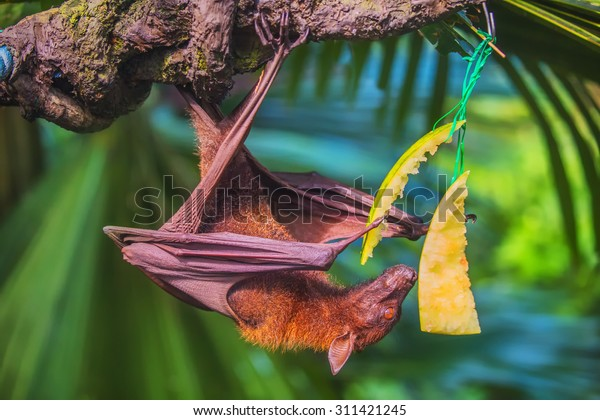 Malayan bat eating fruits and  hanging on a tree branch