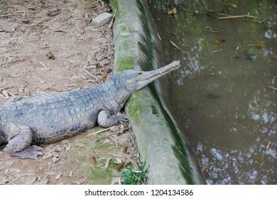 Malayan Gharial crocodile