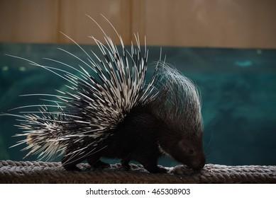 Malayan or Himalayan porcupine on rope