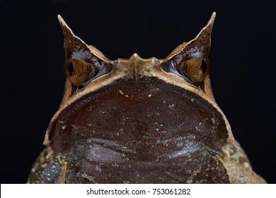Malayan horned frog, Megophrys nasuta