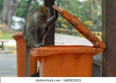 A malayan macaque monkey search food in a trash bin near a national park in Malaysia.