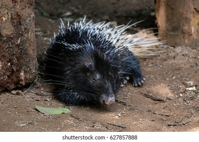Malayan porcupine or Himalayan porcupine also known as Hystrix brachyura in a captivity inside a zoo.  This species of rodent in the family Hystricidae