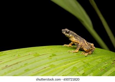 Malayan Slender toad, Ansonia malayana,