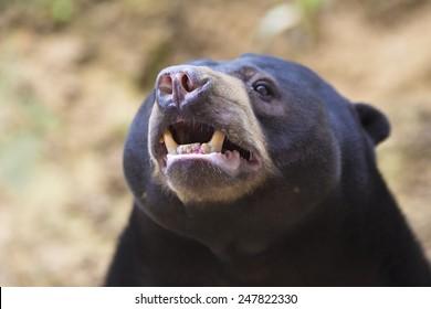 Malayan sun bear .