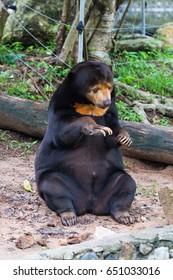 Malayan sun bear, Honey bear
