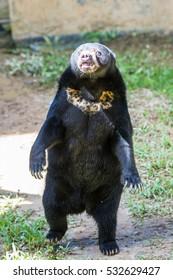 Malayan Sun Bear is the smallest bear in the world.