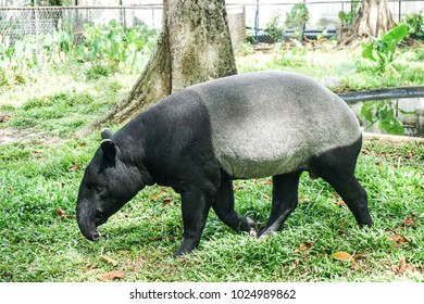 Malayan tapir (Tapirus indicus) in zoolical park. Also known as the Asian tapir.