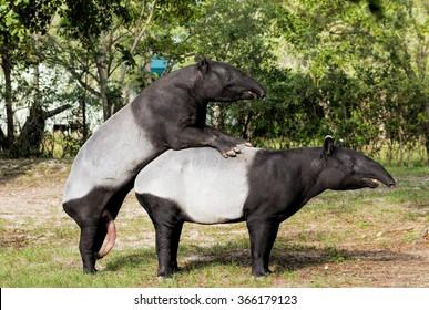 Malayan tapirs engaged in consensual sex