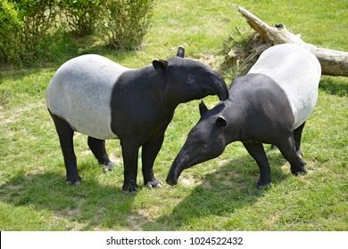 Malayan tapirs (Tapirus indicus) on grass