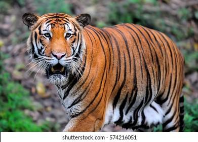 Malayan Tiger, Borneo, Malaysia (selective focus)