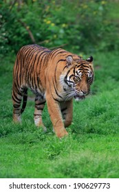Malayan tiger in the countryside