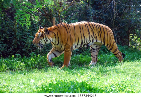 Malayan tiger on green grass. The Malayan tiger (Panthera tigris tigris) is a tiger population in Peninsular Malaysia. Critically Endangered species on the IUCN Red List.