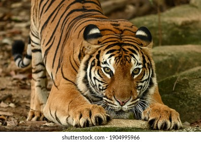 Malayan Tiger (Panthera tigris, Harimau Malaya) is a subspecies of tiger living in the central and southern parts of the Malaysia Peninsula