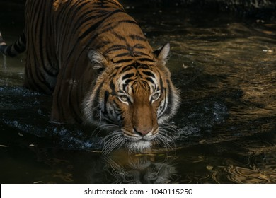 Malayan Tiger Slowly Wading In Shallow Water