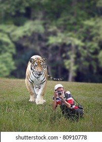 A Malayan Tiger stalking an unaware wildlife photographer in a green grass field. The Malayan Tiger is scientifically known as Panthera tigris jacksoni.