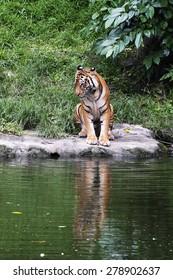 Malayan Tiger Standing Near a River