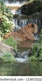 Malayan Tiger at Zoo