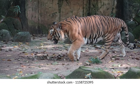 Malayan Tiger at Zoo