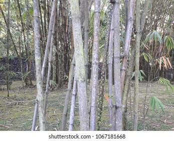 The Malaysia Bamboo