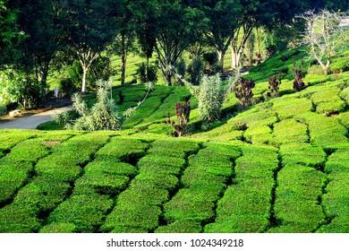 Malaysia Cameron Highlands tea plantation