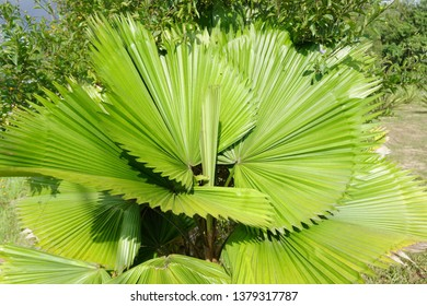Malaysia - Daun palas is popularly used for making one of the famous Hari Raya delicacies in Malaysia, the ketupat daun palas a type of rice dumpling, where glutinous rice is wrapped in a triangular-s