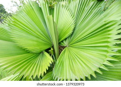 Malaysia - Daun palas is popularly used for making one of the famous Hari Raya delicacies in Malaysia, the ketupat daun palas a type of rice dumpling, where glutinous rice is wrapped in a triangular-