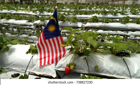 malaysia flag over strawberry farm background