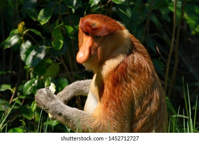 Malaysia. The long-nosed monkey or kahau — a species of primates from the subfamily of thin-bodied monkeys in the family of monkeys. Distributed exclusively on the island of Borneo