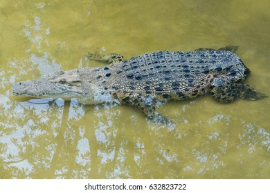 Malaysia No Tailed One crocodile was born without a  long tail like a normal crocodile. A condition can only be seen in captive breed crocodile.