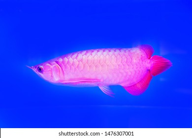 Malaysia Red Arowana Fish view in close up in an aquarium