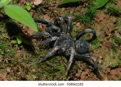 Malaysian Armored Trap Door Spider (Liphistius malayanus). Selec & Malaysian Spiders Images Stock Photos u0026 Vectors | Shutterstock