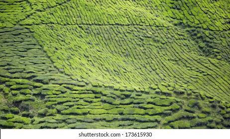 malaysian biggest tea plantation, cameron highland