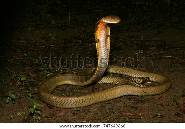 Malaysian King Cobra Stock Photo (Edit Now) 747649660