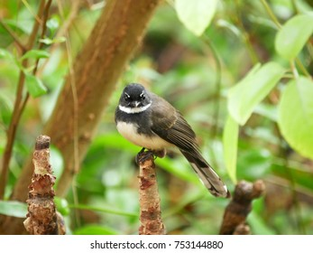 Malaysian Pied Fantail (Rhipidura javanica), little bird perched on a mangrove pencil root with lush green foliage background in mangrove forest.